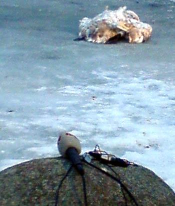 Toter Schwan auf dem Eis in einer Bucht von Rügen
