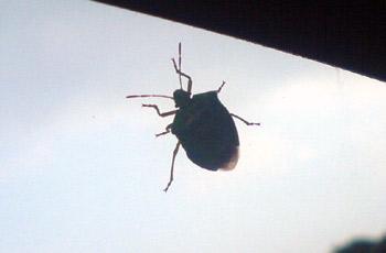 Käfer an der Autoscheibe