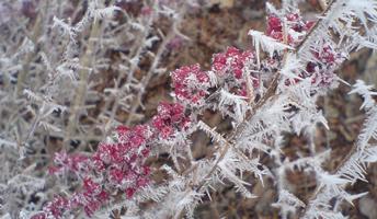 Eiskristalle an einem Zweig