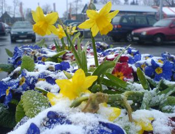 Ostern mit Schnee in Lübeck, eingescheite Frühlingspflanze