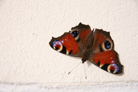 Schmetterling, Tagpfauenauge, an Hauswand