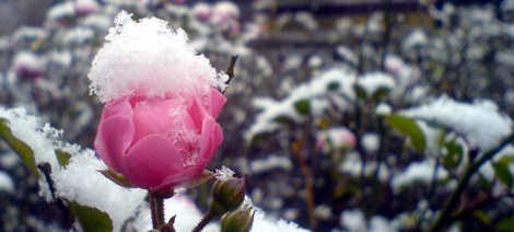 Blüte mit Schnee