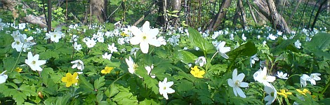Blüten im Frühling im Wald
