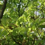 Kastanienblätter von unten