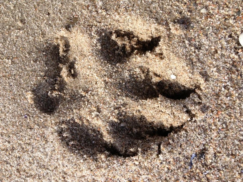 Sandabdruck Riesenpfote