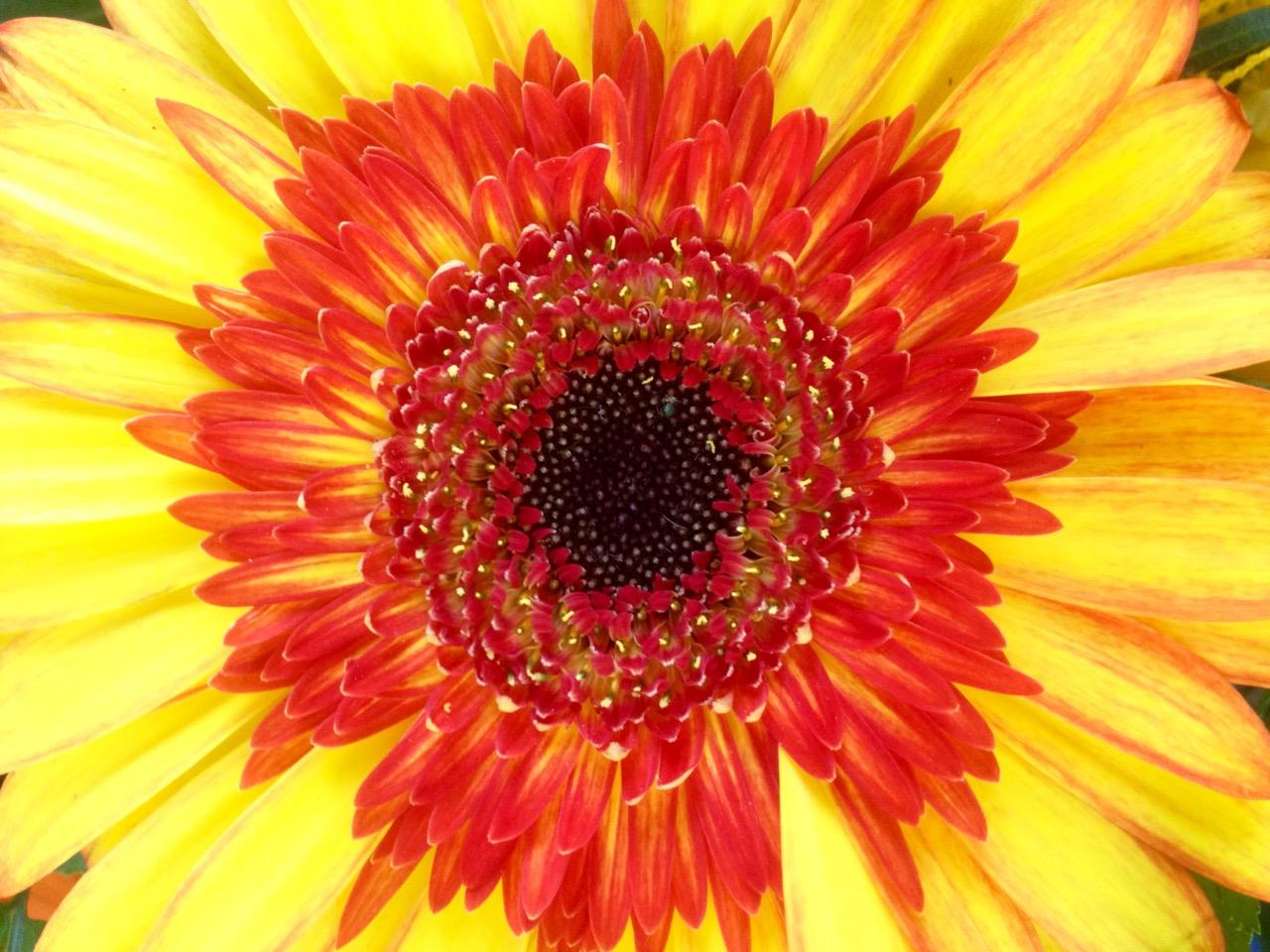Blumenblüte aus gelben und orange-roten Blättern.