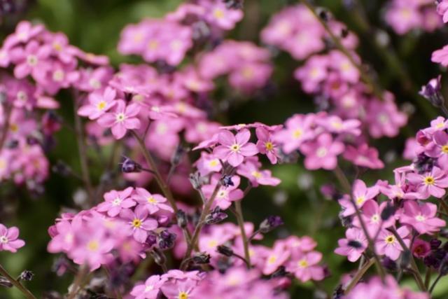 rosa Vergissmeinnichtblüten