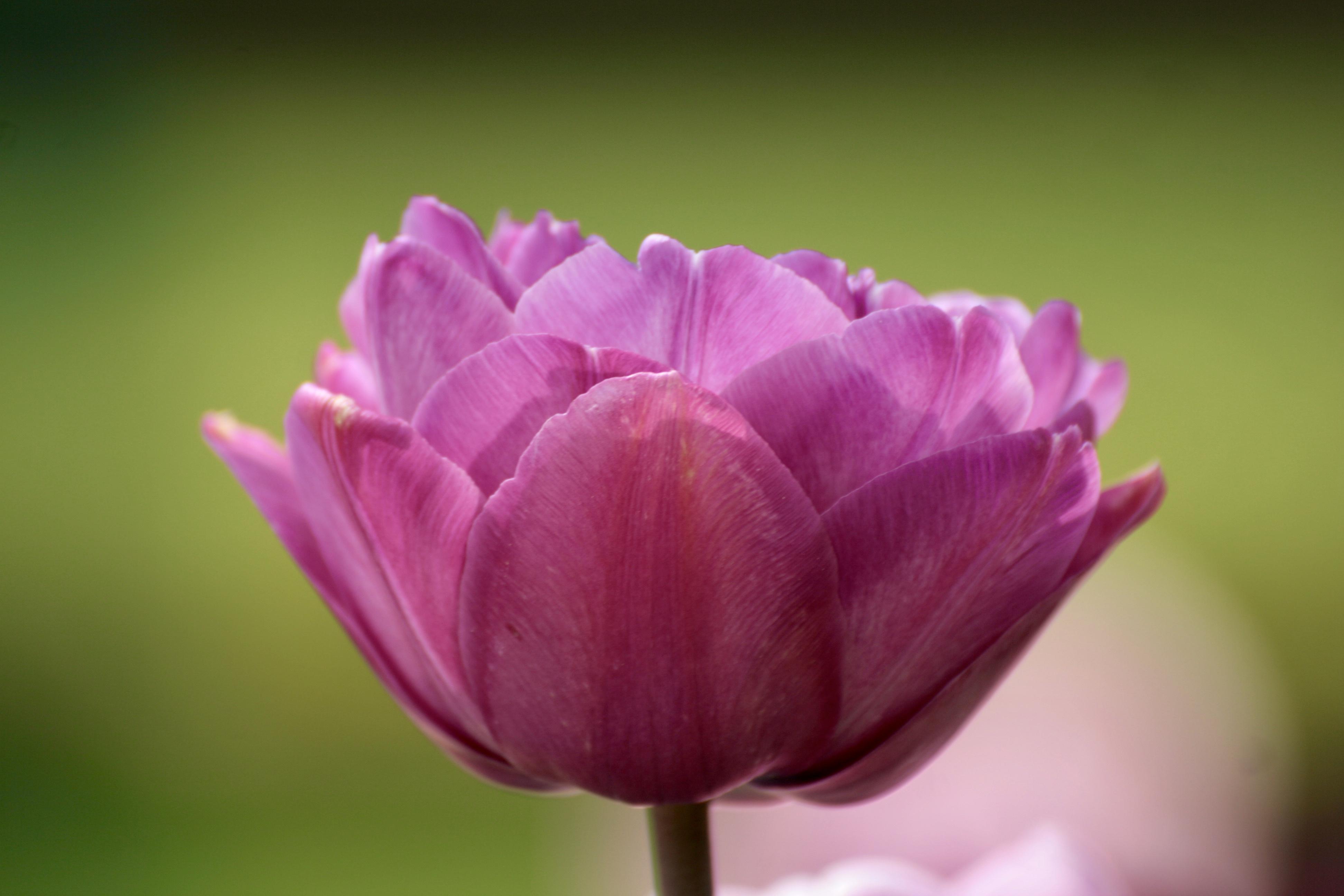 rosa Tulpenblüte