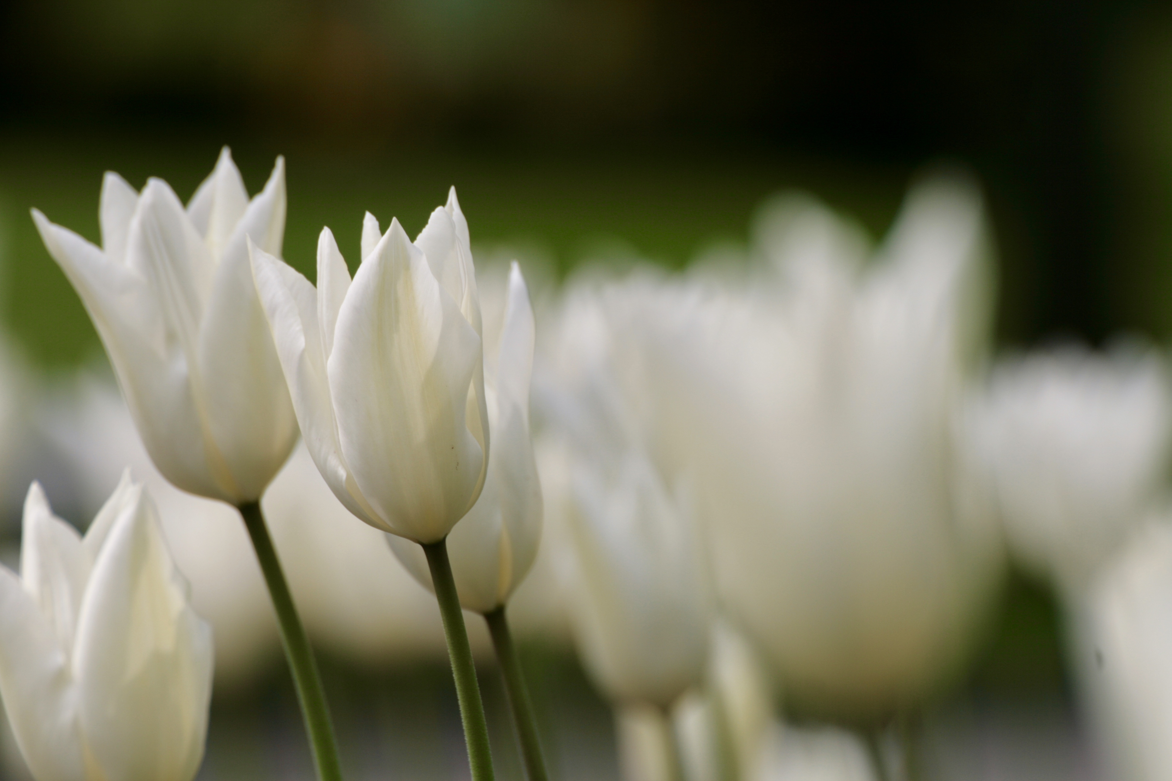 Weiße Tulpelblüten mit spitzen Enden