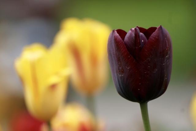 Weinrote Tulpenblüte mit Staub an den Blütenblättern.