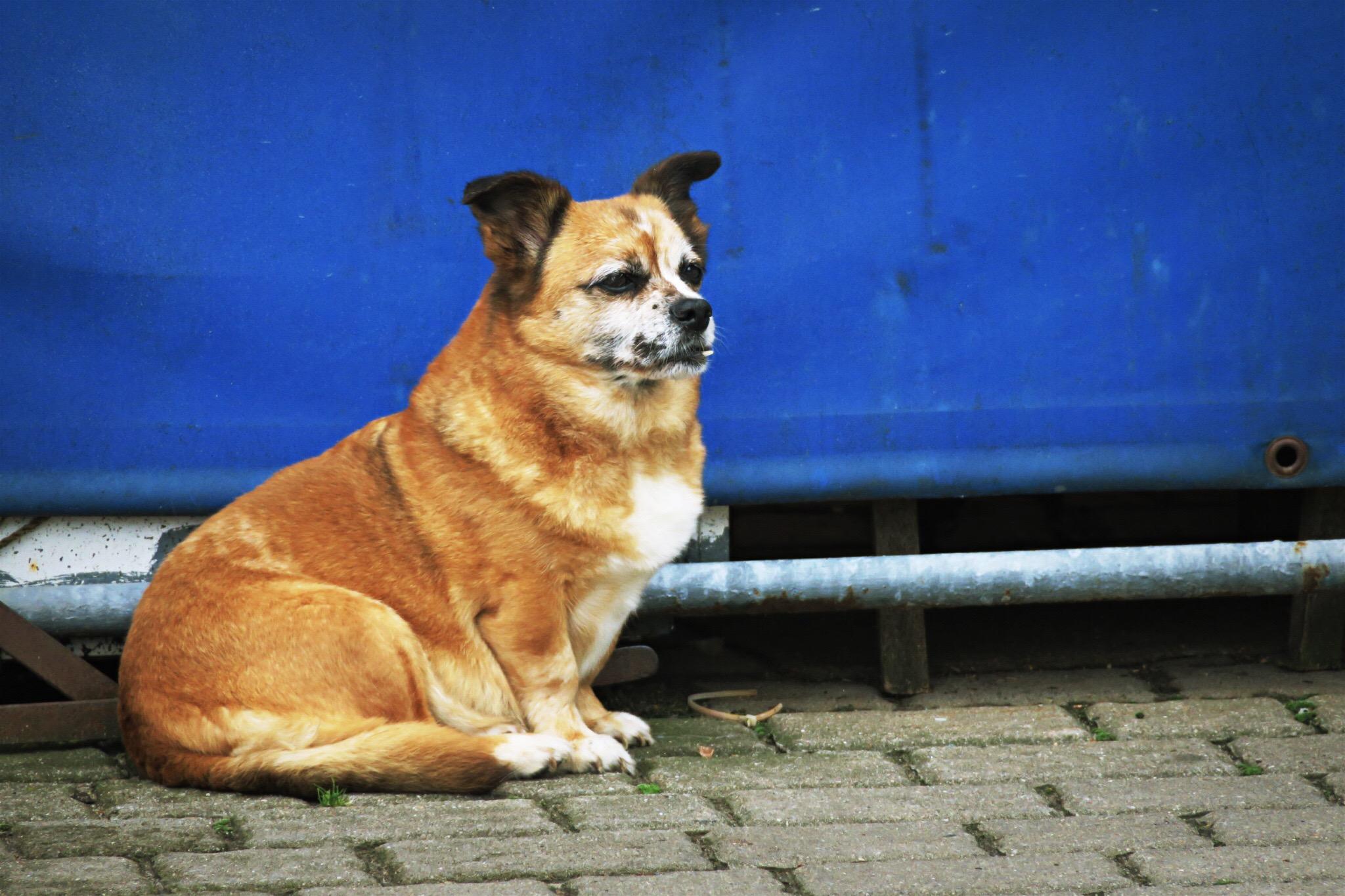 Übergewichtiger Schoßhund.