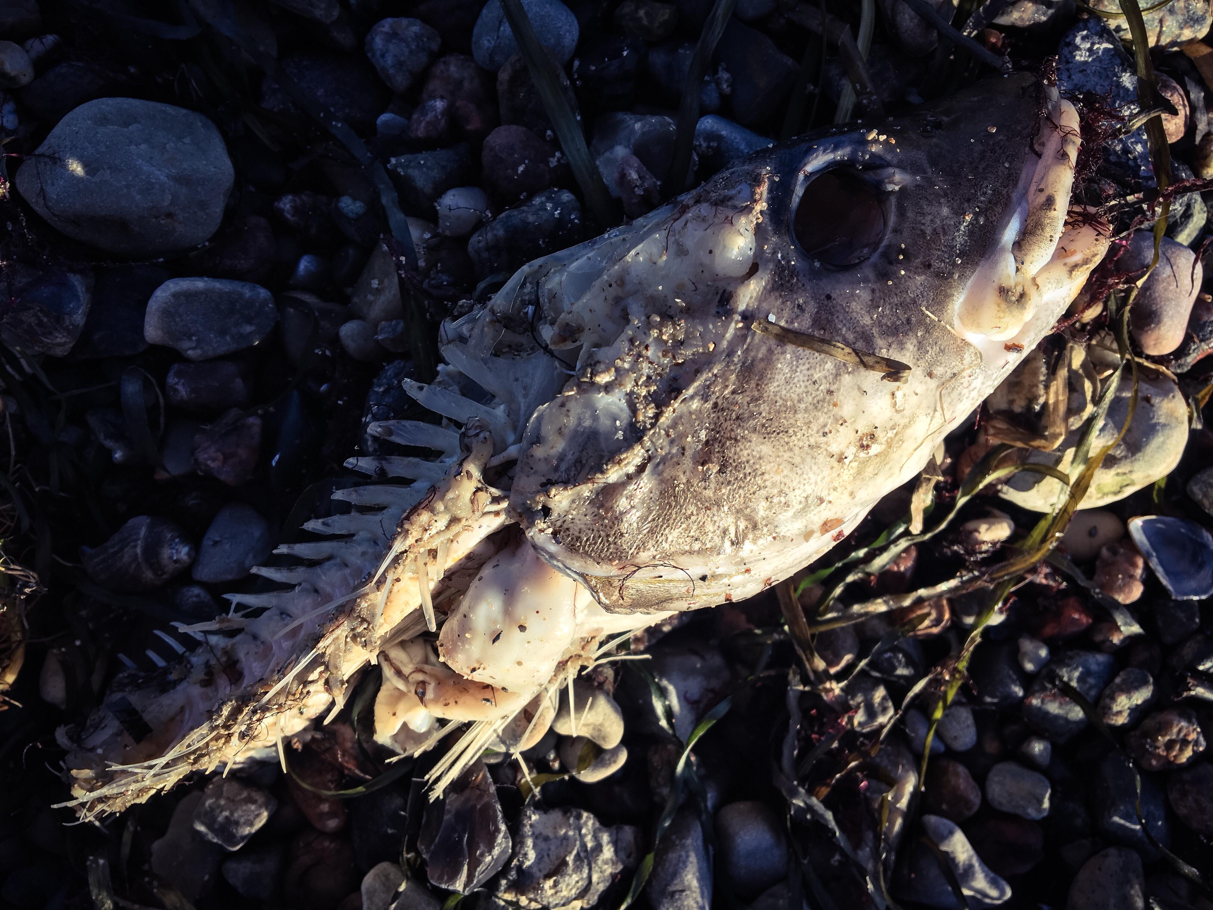 Fischgräte am Strand