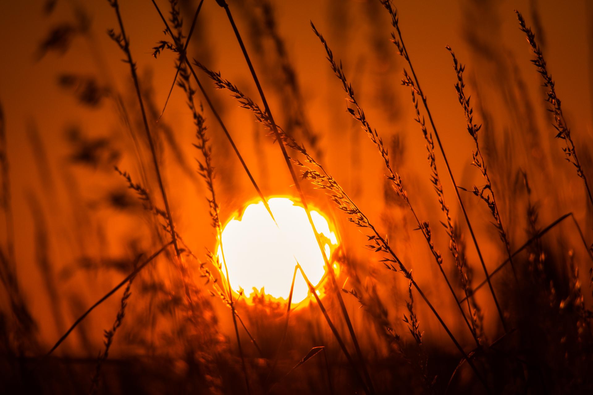 Die glühende Sonne vor dünnen Grashalmen im rot-orangen Gegenlicht.