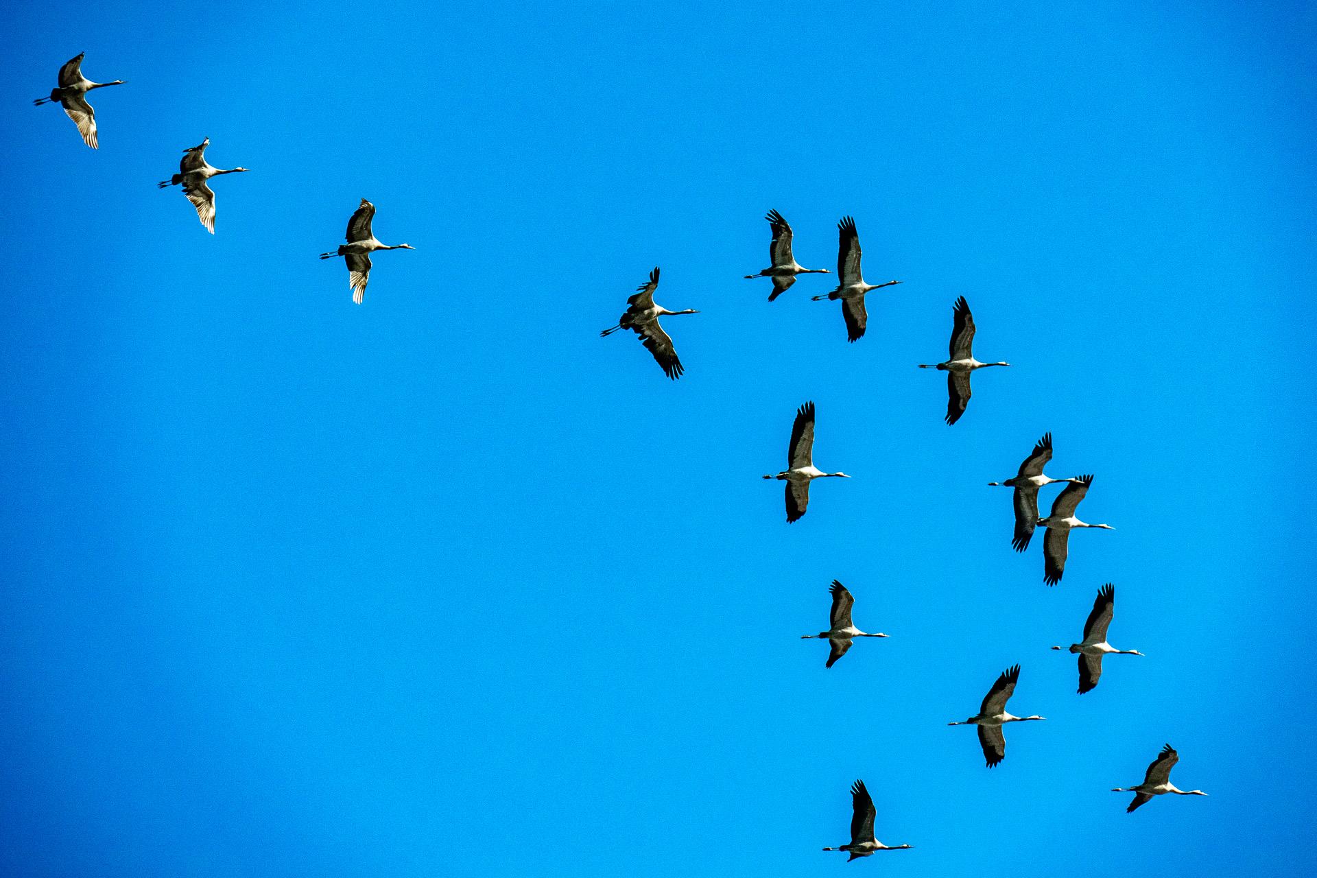 Kraniche am blauen Himmel