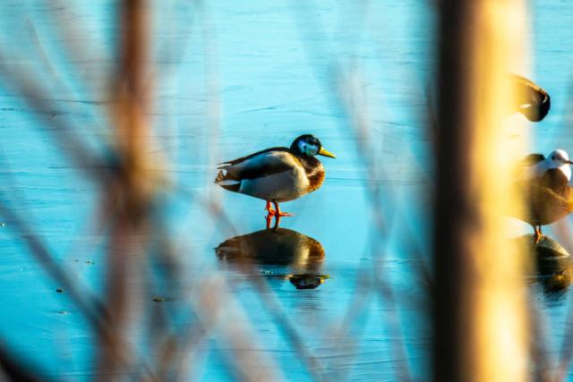 Ein Erpel steht auf zugefrorenem See