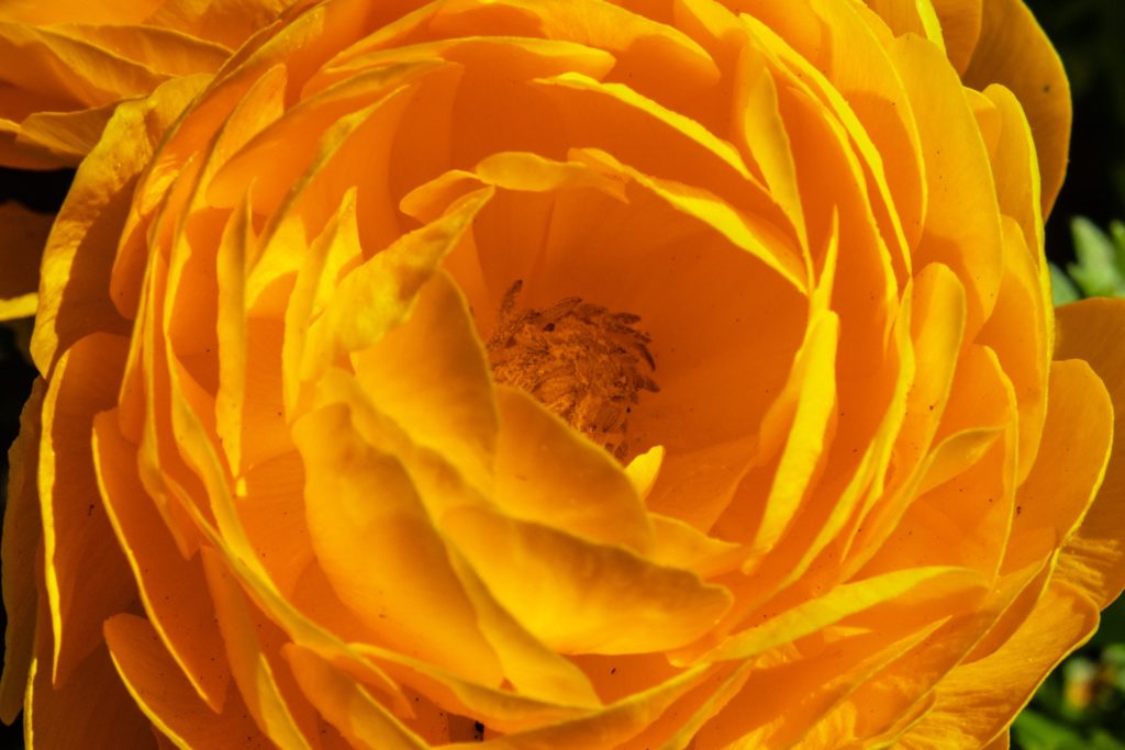 Eine orange Blumenblüte von oben.