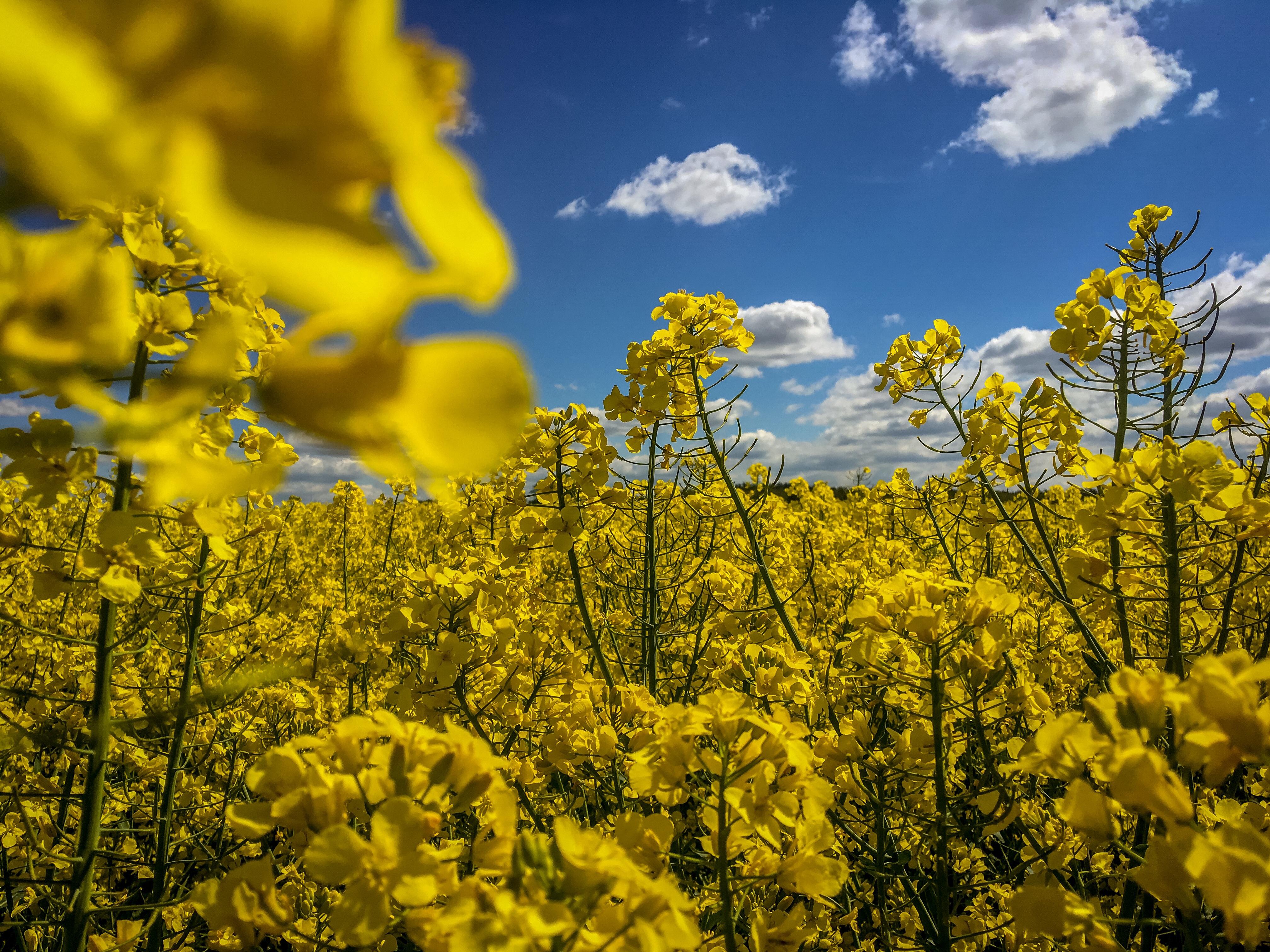 Gelbe Rapsblüten vor blauem Himmel mit weißen Wolken